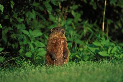 groundhog day legend critter of the week groundhog news the lake news