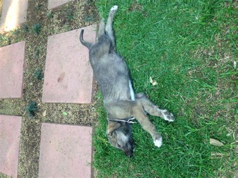 blooded wolf puppies for sale in beautiful wolf hound puppies for sale imported lines johannesburg puppies