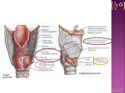 vestibulo laringeo glotis la laringe