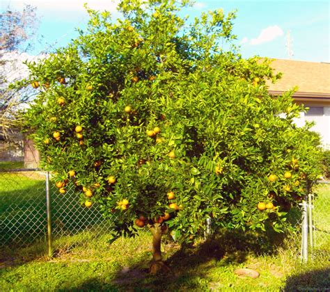 tree in backyard plants and trees pictures images photos