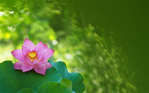imagenes bellas wallpaper bellas flores rosadas hd 1680x1050 imagenes wallpapers
