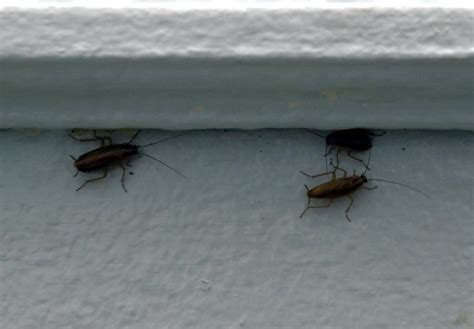 Apartment Building Has Roaches Researchers Target Mice Roaches As Causes Of Asthma Ny