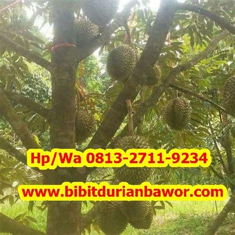 Bibit Durian Bawor Jakarta bibit durian montong bibit durian unggul durian bawor