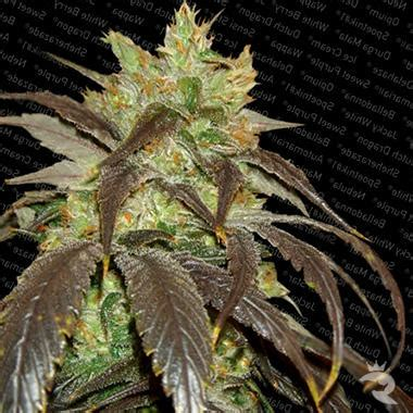 spoetnik l spoetnik 1 nasiona feminizowane marihuany