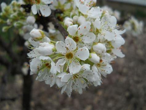 pianta con fiori bianchi molto profumati albero fiori bianchi profumati i fiori profumati sono