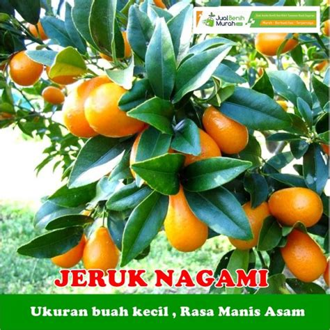 Bibit Buah Jeruk Nagami bibit jeruk nagami 70 cm jualbenihmurah