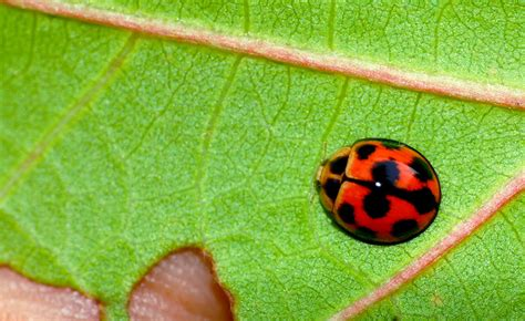 colors of ladybugs ladybugs in colors misscurious83