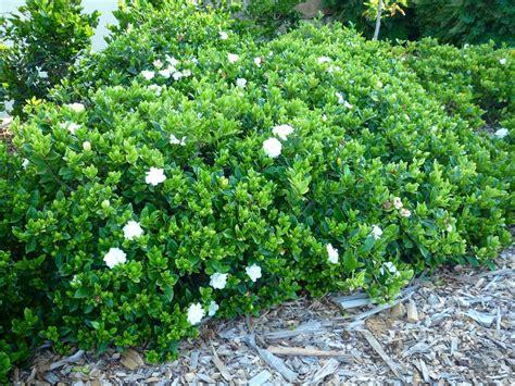 fragrant plants florida 20 gardenia florida hedging plants fragrant flower ebay