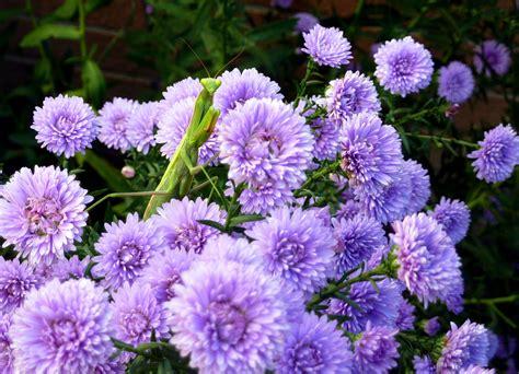 fiori astri il mondo in un giardino arrivano i settembrini