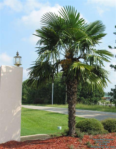 Chamaerops Excelsa Taille Adulte by Trachycarpus Fortunei Palmen Center