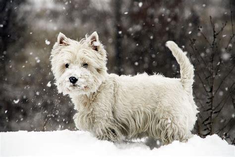 West Highland Terrier Breed Information