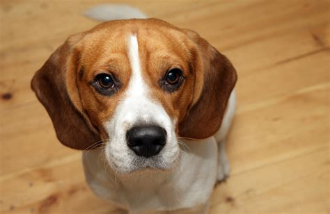are beagles good house dogs breed spotlight beagle