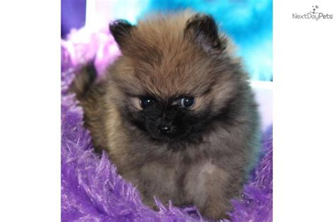 micro teacup pomeranian puppies for sale in mississippi tiny micro teacup pom puppy quot harland quot pomeranian puppy for sale near jackson