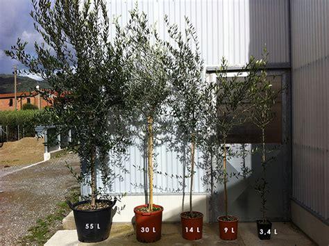 ulivo da giardino piante di ulivo da giardino prezzi idea di casa