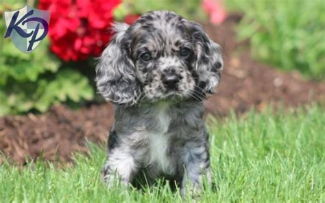 cocker spaniel puppies for sale in pa 2015 pa show autos post