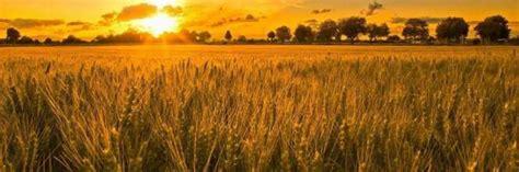 seme bari bari il grano canadese non 195 168 contaminato