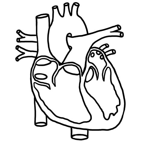 human heart unlabeled clipart