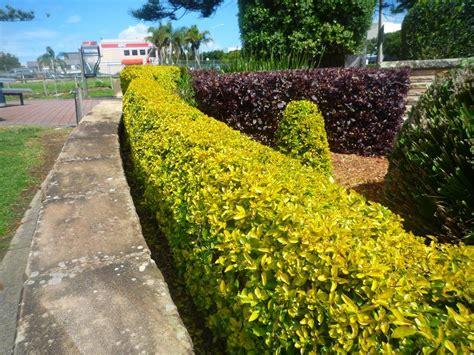 Landscape Supply On Mound Rd Duranta Sheenas Gold Duranta Repens Evergreen Growers