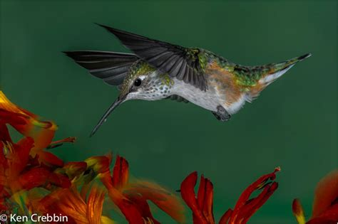 hummingbird photography tips the canadian nature