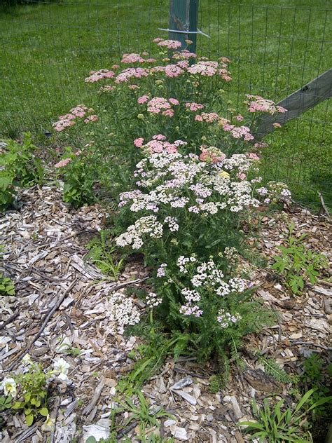 Garden Yarrow Home Advice From The Herb