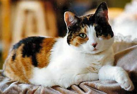 Are Calico cats always female?   The Pet Product Guru