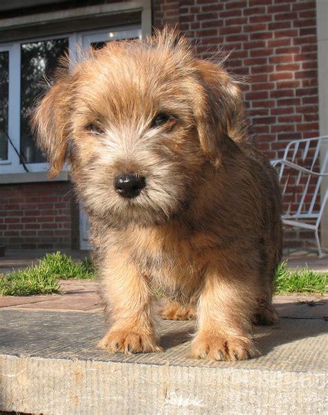 norfolk terrier puppies norfolk terrier puppies car interior design