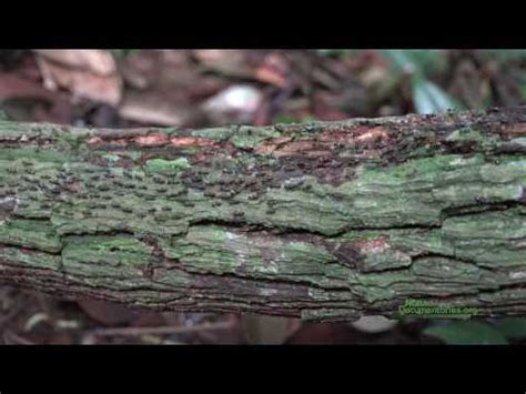 patterns in nature documentary open air processional column termites in bukit timah