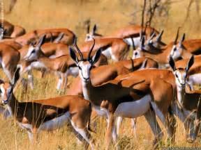 Wallpaper Ideas For Bathroom springbok animal