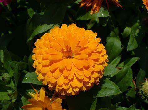fiore calendula calendula officinalis calendula scaricare foto gratis