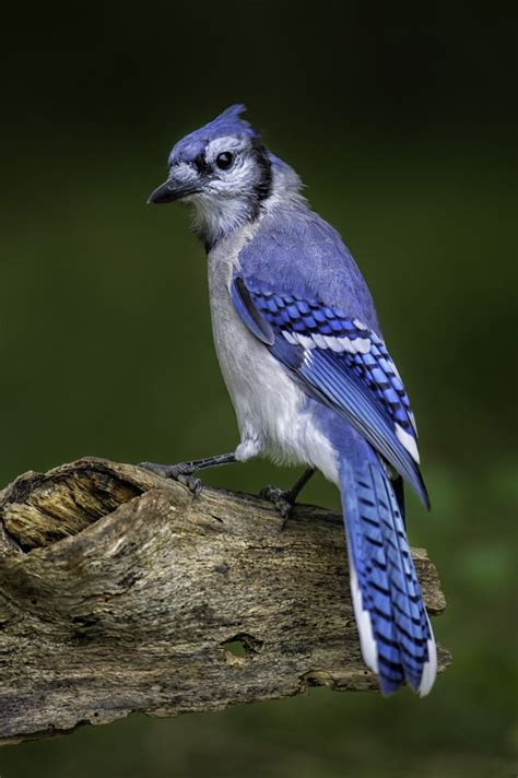 38 best images about bluejays on pinterest london tattoo