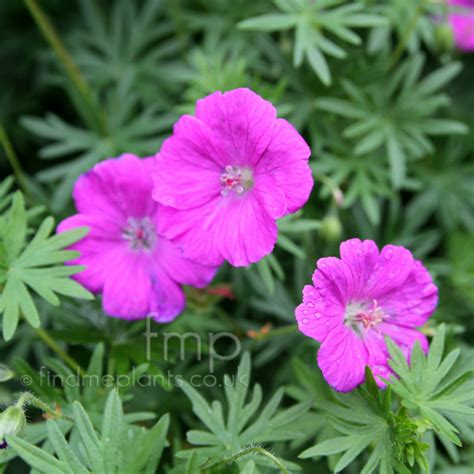 a big photo of geranium sanguineum flower close up from findmeplants