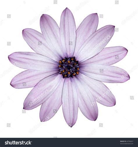 light purple top beautiful light purple blossoming osteospermum stock