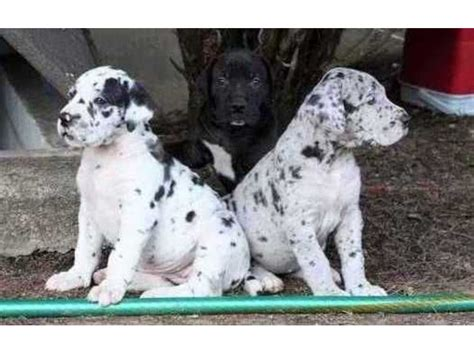 great dane puppies for sale in florida excellent harlequin merlequin and black great dane puppies for sale animals