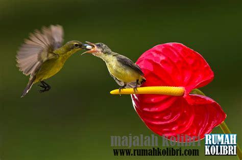 Pakan Lolohan Anakan Sogok Ontong rumah kolibri