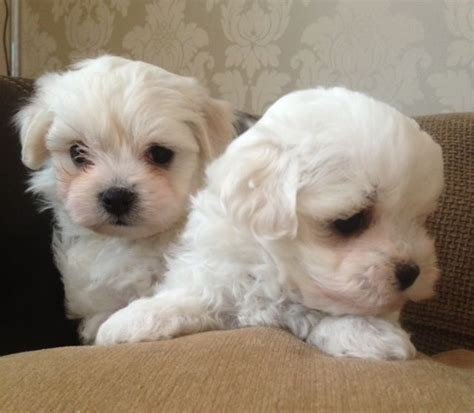 maltichon puppies for sale pets for sale on loot 27th march loot classified ads advertising uk