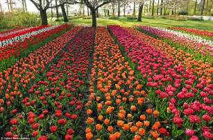 World Largest Flower Garden Seven Million Bulbs Bloom To The Beginning Of In The World S Largest Flower Garden