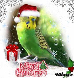 budgie in christmas picture 119778930 blingee com
