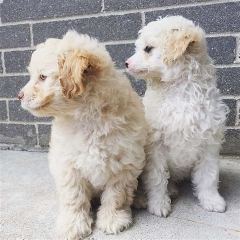 Shih Tzu 01 mini poodle shih tzu litter 01 05 2017 puppy id 717