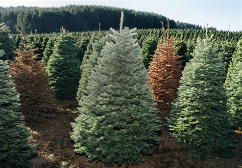 christmas tree farm in oregon your tree has lived through one hell of an adventure
