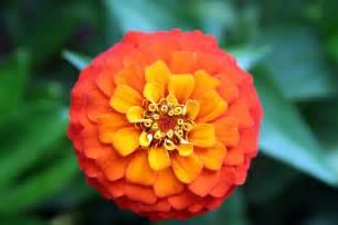 Orange and yellow flower macro