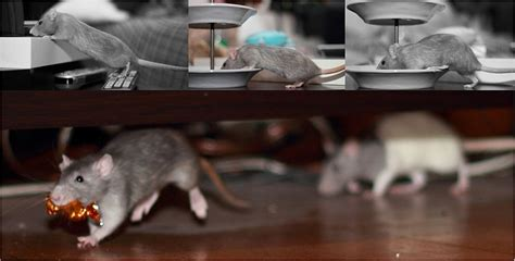 how to get rid of rats mice and prevent rodent