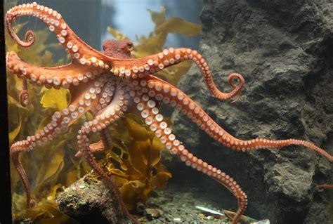 file octopus at tarlton s jpg