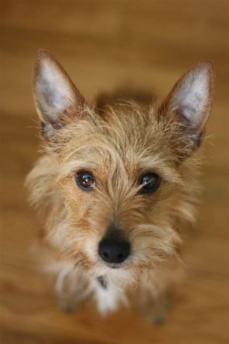 terrier mix mixed terrier breeds www imgkid the image kid has it