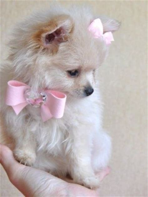 pomeranian with bow pomeranian puppy wearing pink bows puppies galore juxtapost