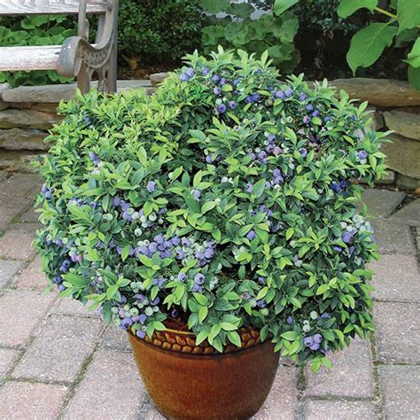 Top Hat Patio Blueberries blueberry top hat vaccinium angustifolium