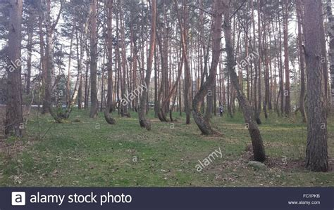 crooked forest in western poland mysterious facts poland s forgotten crooked forest what were they going to