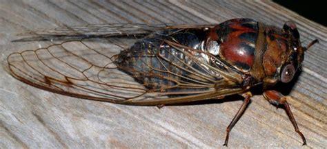 day cicada sam s field notes day cicadas coastal review