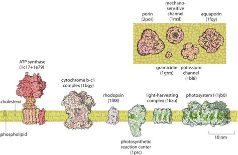 4 proteins found in cell membrane 187 what is the thickness of the cell membrane