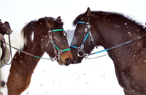 Tutup Tangq Trail Stanlis snap on bridle halter combination great leads n reins