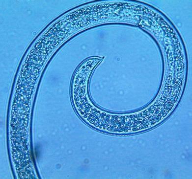 Furadan 100 Gr nemat 243 ide ou helicotylenchus multicinctus